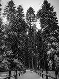 在雪盖的树梢 免版税库存照片