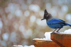 在雪盖的树荫处顶部的蓝色尖嘴鸟 免版税库存图片