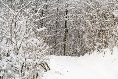 在雪盖的森林在冬天期间 免版税图库摄影