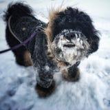 在雪盖的狗 免版税库存图片