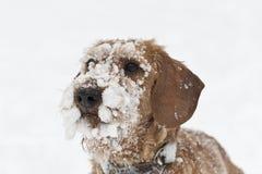 在雪盖的硬毛的达克斯猎犬 库存图片