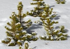 在雪盖的红松树苗 免版税库存图片