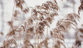 在雪盖的芦苇照片 免版税库存图片