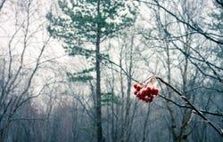 在雪盖的花楸浆果 库存图片