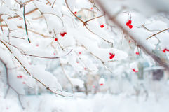 在雪盖的荚莲属的植物几红色成熟果子 库存照片