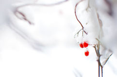 在雪盖的荚莲属的植物红色成熟果子 库存图片