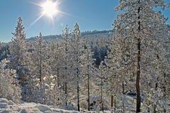 在雪盖的被日光照射了冬天森林 库存图片