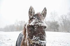 在雪盖的骡子在冬天风暴的开始 免版税库存图片