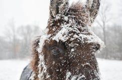 在雪盖的骡子在冬天风暴的开始 库存图片