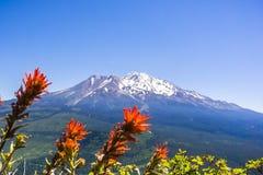 在雪盖的Mt沙斯塔山顶;在绽放在前景,锡斯基尤县,加利福尼亚的印度画笔Castilleja 免版税库存照片