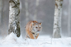 在雪秋天的东北虎 跑在雪的阿穆尔河老虎 在狂放的冬天自然的老虎 行动与危险动物的野生生物场面 免版税库存照片