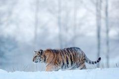 在雪秋天的东北虎 跑在雪的阿穆尔河老虎 在狂放的冬天自然的老虎 行动与危险动物的野生生物场面 库存照片