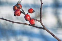 在雪背景的明亮的cankerberry莓果在2月,狂放的野玫瑰果 免版税库存照片