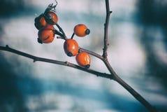 在雪背景的明亮的cankerberry莓果在2月, 库存图片