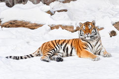 在雪背景的老虎 免版税图库摄影
