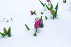 在雪背景的郁金香 免版税库存照片