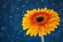 在雪背景的黄色雏菊 免版税库存图片