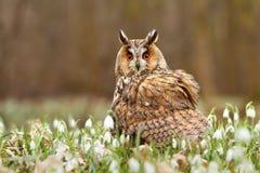 在雪花的长耳朵猫头鹰 免版税图库摄影