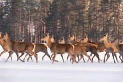在雪跑的鹿 鹿鹿Elaphus众多的牧群,照亮由早晨光,奔跑通过积雪的领域Aga 免版税图库摄影
