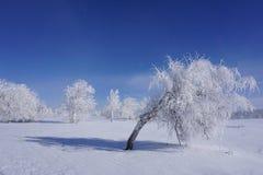 在雪重压下弯曲的桦树 库存图片