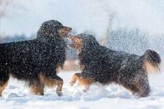 在雪雾的两只澳大利亚牧羊犬 免版税库存图片