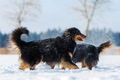 在雪雾的两只澳大利亚牧羊犬 免版税库存照片