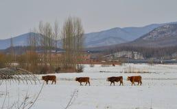 在雪风景的布朗长的头发母牛 库存照片