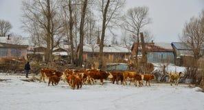 在雪风景的布朗长的头发母牛 免版税库存图片