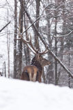 在雪风暴的一头孤立马鹿 免版税库存照片
