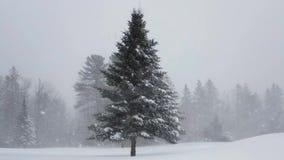 在雪风暴的云杉的树 股票视频