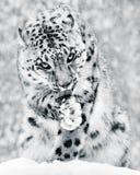 在雪风暴IV BW的雪豹 图库摄影