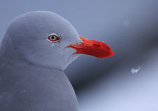 在雪,乌斯怀亚的海豚鸥 库存照片