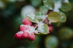 在雪,雪,背景下的红色莓果 库存照片