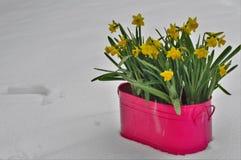 在雪结冰的黄色开花的narcissuses 库存照片