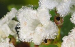在雪以后的荚莲属的植物花 免版税库存照片