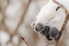 在雪以后的莓果群 免版税库存照片