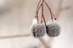 在雪以后的2个莓果hangin 图库摄影