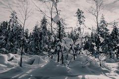 在雪-拉普兰-芬兰的树 免版税图库摄影