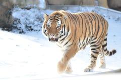 在雪2的阿穆尔河老虎 库存照片