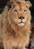 在雪画象的狮子 免版税库存图片