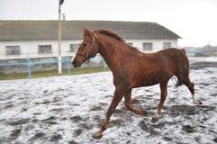 在雪blizzard_2的连续马 免版税库存照片