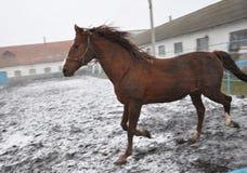 在雪blizzard_5的连续马 免版税库存照片