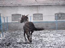 在雪blizzard_6的连续马 免版税库存图片