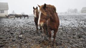 在雪blizzard_5的马 图库摄影