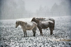 在雪blizzard_10的马 图库摄影