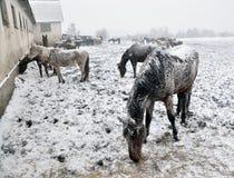 在雪blizzard_13的马 免版税图库摄影