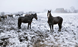 在雪blizzard_15的马 库存照片