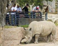 在雷德公园动物园的一头犀牛 库存照片