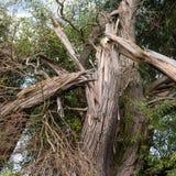 在雷击以后的树 库存照片