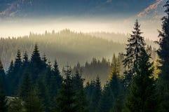 在雾分层堆积的山坡的云杉的森林 库存图片